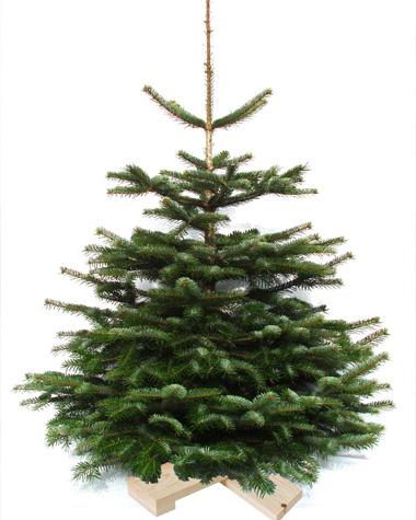 Weihnachtsbaum Blaufichte